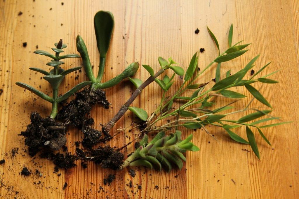 Dzikie Twory - roślinki przeznaczone do stworzenia lasu w słoiku, sukulenty oraz coffee arabica